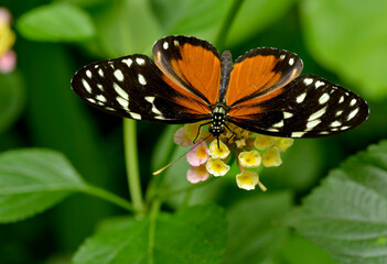 Macro of  Tiger Longwing (Heliconius hecale) butterfly feeding on flower (Lantana camara) seen from above