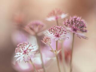Fototapeta Biało-różowe kwiaty  obraz