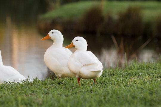 The Pekin or White Pekin ducks standing next to their pond