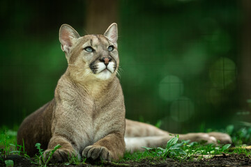 Puma dying in the forest