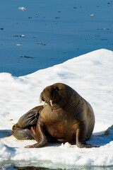Poster Pole Beautiful strong Walrus in Arctic