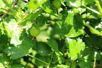 gooseberries on the bushes in the garden