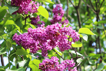 lilac flowers in the garden close-up