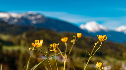 Beautiful alpine spring flowers with mountains in the background near Berchtesgaden, Bavaria, Germany