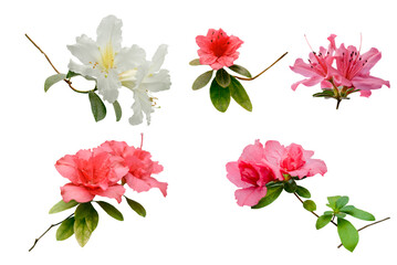 Collection of pink and white azalea flowers isolated on white
