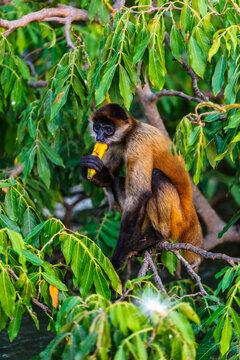 It's Geoffroy's spider monkey, Ateles geoffroyi, also known as black-handed spider monkey