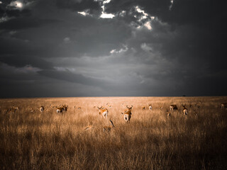Poster Antelope Antilope Gazelle Afrique