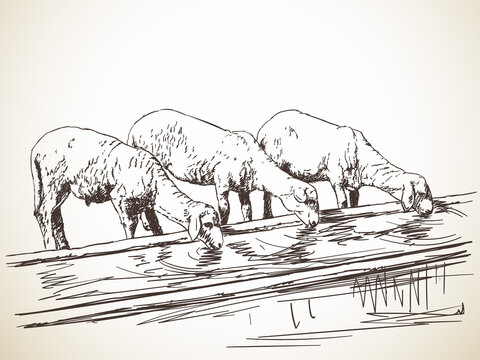three sheeps drinking water. vector sketch Hand drawn illustration