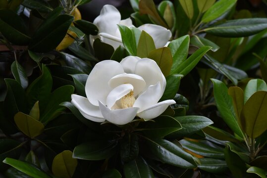 Southern magnolia is a Magnoliaceae evergreen tree with large white flowers that bloom in early summer, giving off a gentle fragrance.