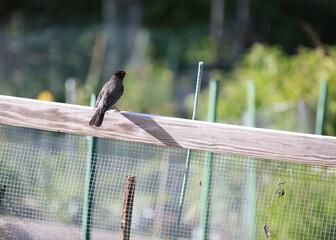 The American robin (Turdus migratorius) is a migratory songbird