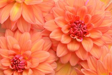 Foto op Canvas Dahlia Beautiful dahlia flowers