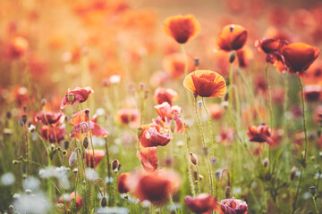 Field of poppy flowers at sunset, selective focus, color toning applied.