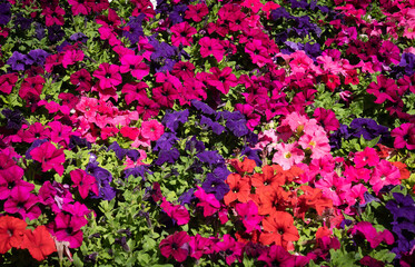 Multi-colored petunias blooming in a flowerbed on the Amalfi Coast, Italy