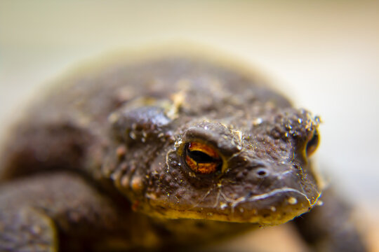 close up of a frog, focus is on the lower eyelid