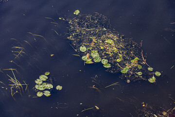 Foto op Canvas Waterlelies Water lilies on the water in the Moscow River (Russia).
