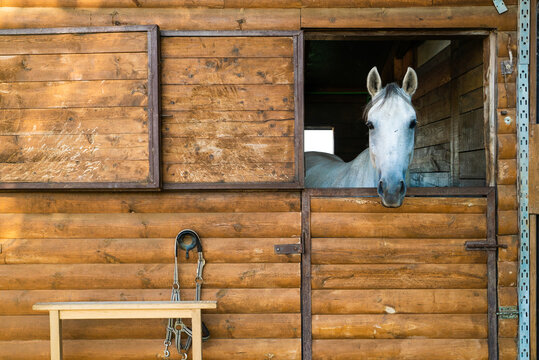 Image of friendly white horse at wood stable, Croatia.