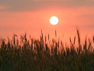 One of the most important cereals, barley at sunset