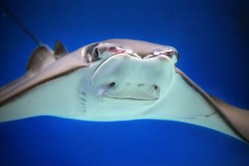 Cownose ray Rhinoptera bonasus. Close up