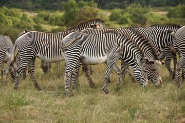 Printed kitchen splashbacks Zebra Grevy's zebras grazing, Samburu Game Reserve, Kenya