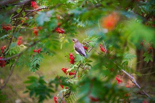 Juvenile cedar waxwing eating a mountain ash berry