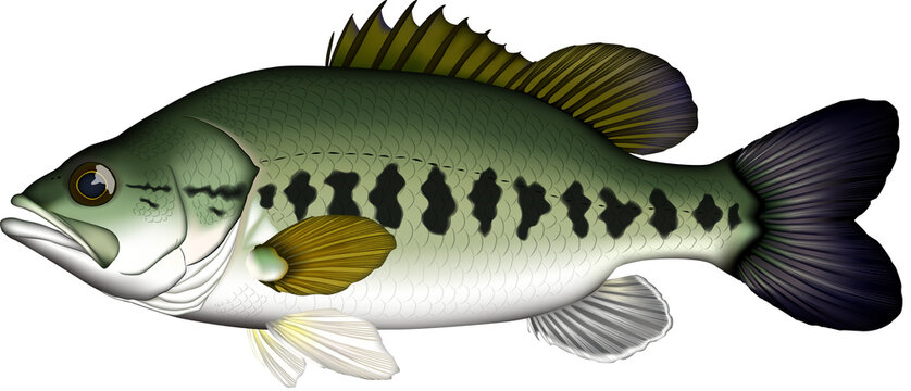 Large-mouth bass ブラックバス イラスト ベクター