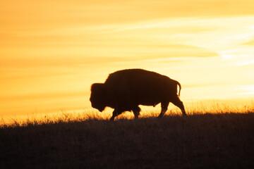 buffalo in sunset