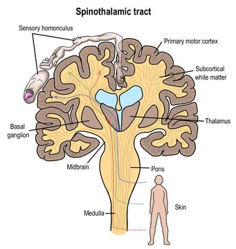 "The pathway of sensory perception of brain ""spinothalamic track""."