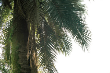 Tropical palm tree jubaea chilensis in bright light