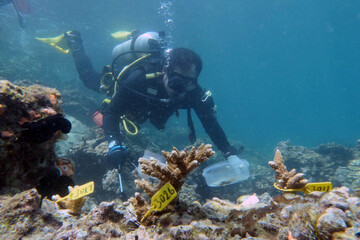 A diver inspects transplanted coral near Dibba Port in Fujairah