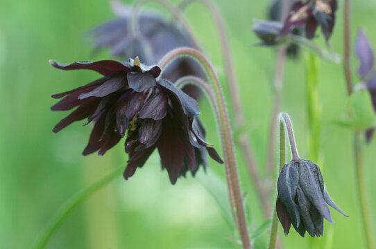 Aquilegia hybrid (Black Barlow) flower