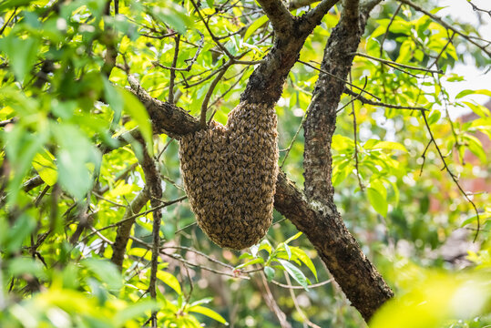 wild beehive on tree
