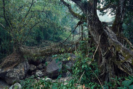 Living Root Bridge in Cherrapunjee, Meghalaya, India