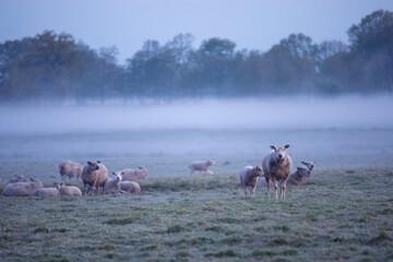 Wall Mural - sheep herd in morning fog