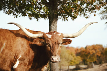 Wall Mural - Texas Longhorn cow looking at camera with fall season trees in landscape background.
