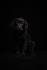 Black dog - Studio portrait of black labrador puppy in dark classic renaissance painterly style