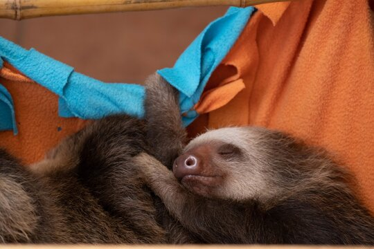 Cute baby sloth sleeping peacefully while holding on to orange sheets hung from a bamboo pole