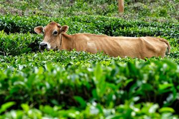 A cow among tea plants in a tea plantation in Wayanad, Kerala, India.