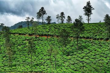 Tea plantation in Wayanad, Kerala, India.
