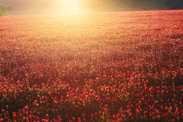 Beautiful flowering meadow at sunset, Red flowers meadow.