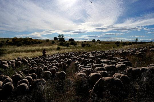 Shepherd Antonio Moran Diez walks with a flock of sheep amid the coronavirus disease (COVID-19) outbreak in Villalobar
