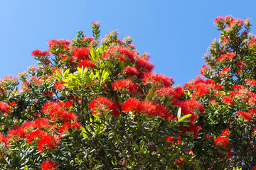 Blooming Pohutukawa Flowers at Tawharanui Beach and Regional Park, Auckland New Zealand; The Flowers are only Blooming in Summer Time