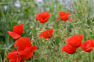 Roter Klatschmohn auf Sommerwiese