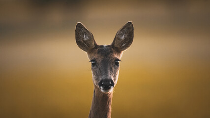 Papiers peints Roe portrait of a roe deer