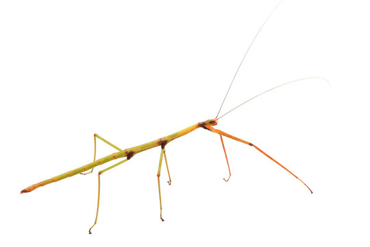 Walking Stick Insect with Clipping Path over White