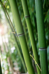 Closeup of bamboo forest in a japanese garden