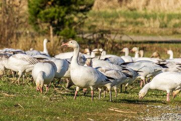 A flock of white geese in the park breeding british columbia canada.