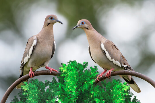 Pair of White Wing Doves Perched in Garden in South Central Louisiana
