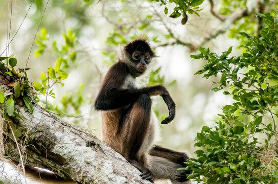 Mono araña (Ateles geoffroyi) mira a cámara, sentado sobre árbol en Calakmul, México.