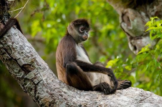 Mono araña (Ateles geoffroyi) sentado en árbol en la Reserva de la Biósfera de Calakmul, Campeche.