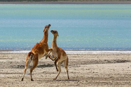 Guanacos lutando pela liderança na beira do lago gelado no parque nacional do Chile